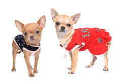 Dressed puppies chihuahua Royalty Free Stock Photography
