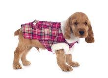 Dressed puppy english cocker Stock Image