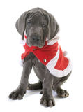 Dressed puppy great dane Royalty Free Stock Images