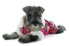 Dressed puppy Miniature Schnauzer Stock Images