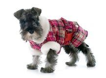 Dressed puppy Miniature Schnauzer Stock Photo
