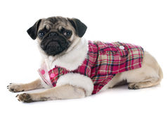 Dressed puppy pug Royalty Free Stock Photos
