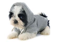 Dressed puppy shitzu Royalty Free Stock Image