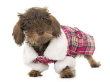 Dressed puppy Wire haired dachshund Royalty Free Stock Photos