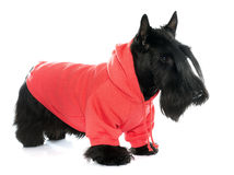 Dressed scotish terrier Royalty Free Stock Photography