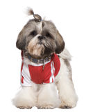 Dressed Shih Tzu, 1 year old, standing Royalty Free Stock Image