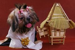 Dressed shih-tzu royalty free stock photography