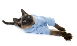 Dressed siamese cat Stock Image