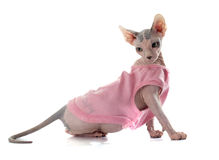 Dressed Sphynx Hairless Cat Royalty Free Stock Images