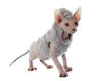 Dressed Sphynx Hairless Cat Stock Image