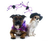 Dressed staffordshire bull terrier and chihuahua Royalty Free Stock Photo