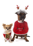 Dressed staffordshire bull terrier and chihuahua Royalty Free Stock Photography