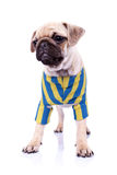 Dressed standing  pug puppy dog looking to a side Royalty Free Stock Photo