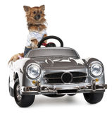 Dressed up Chihuahua driving convertible Stock Image