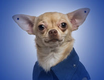 Dressed-up Chihuahua with earrings Stock Photos