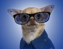 Dressed-up Chihuahua with earrings and wearing glasses Royalty Free Stock Image