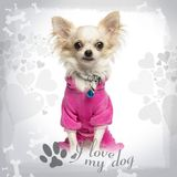 Dressed up Chihuahua with fancy collar, sitting on designed background. 9 months old stock images