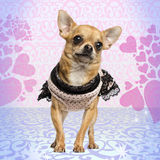 Dressed up Chihuahua on heart background Stock Photography