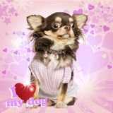 Dressed up Chihuahua looking stunned. Sitting on fancy background stock photo