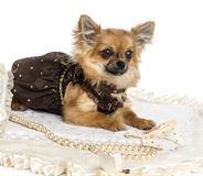 Dressed up Chihuahua lying on a carpet, isolated Royalty Free Stock Images