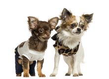 Dressed up Chihuahua puppies standing, 3 and 9 months old. Isolated on white royalty free stock photography