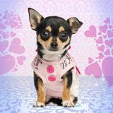 Dressed up Chihuahua puppy facing, sitting on heart background. 4 months old royalty free stock photos