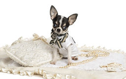 Dressed up Chihuahua puppy sitting, looking at the camera Stock Image