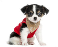 Dressed-up Chihuahua puppy sitting, looking at the camera Royalty Free Stock Image