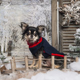 Dressed up Chihuahua sitting on a bridge Stock Image