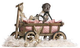 Dressed up Chihuahua sitting in dog bed wagon Royalty Free Stock Images