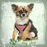 Dressed up Chihuahua sitting on green heart background. 9 months old stock images