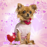 Dressed up Chihuahua sitting on heart background Stock Photo