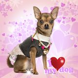 Dressed up Chihuahua sitting. Looking at the camera on fancy background royalty free stock photography
