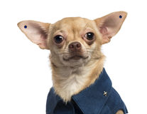 Dressed-up Chihuahua wearing earrings, Royalty Free Stock Images