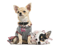 Dressed-up Chihuahuas sitting and lying next to each other Stock Photo