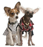 Dressed up Chinese Crested Dogs stock photo
