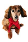 Dressed up dachshund. Stock Photography