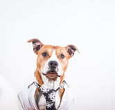 Dressed up dog. A dressed up pitbull wearing a shirt and tie Royalty Free Stock Image