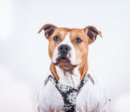 Dressed up dog. Wearing a shirt and tie Royalty Free Stock Images