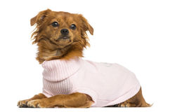 Dressed-up Mixed-breed Chihuahua lying, 10 months old Royalty Free Stock Image