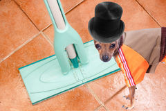 Dressed up puppy on clean floor. Puppy and a mop on the checkered ceramic floor Royalty Free Stock Images