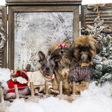 Dressed-up Shi tzu and Chinese crested dogs Royalty Free Stock Photo
