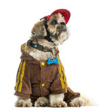 Dressed up Shih tzu with a cap, sitting, isolated Royalty Free Stock Photos