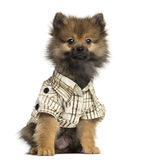 Dressed-up Spitz puppy sitting, looking at the camera, 4 months old Royalty Free Stock Images