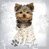 Dressed up Yorkshire Terrier puppy, looking at the camera Royalty Free Stock Photo