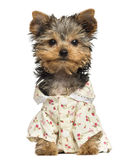 Dressed up Yorkshire Terrier puppy, looking at the camera, 10 weeks old Royalty Free Stock Photo