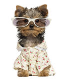 Dressed up Yorkshire Terrier puppy wearing glasses Royalty Free Stock Photos