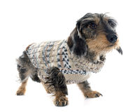 Dressed Wire haired dachshunds Stock Photography