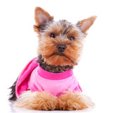Dressed yorkshire puppy dog Royalty Free Stock Photo