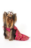 Dressed yorkshire terrier Stock Photography